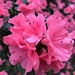 Azaleas at the peak of their perfection.  They are already starting to fade away.  Sadly but necessarily, such beauty is fleeting.