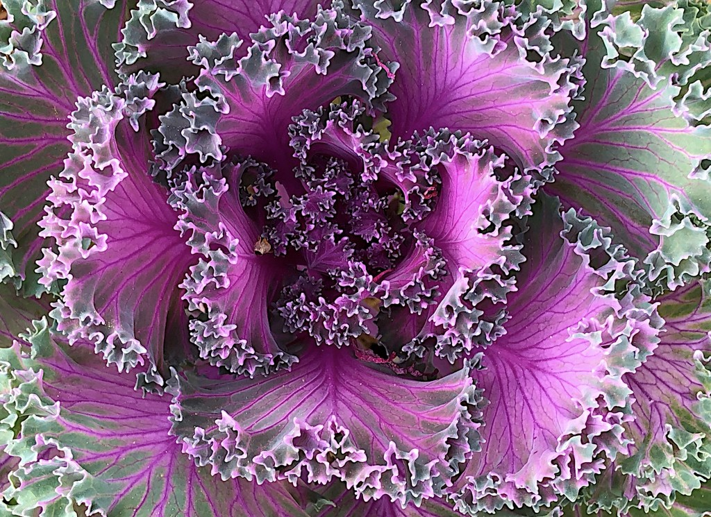 Ornamental cabbage, Hampton Park, Charleston by congaree