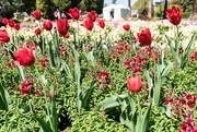 18th Mar 2019 - Tulips in Toowoomba