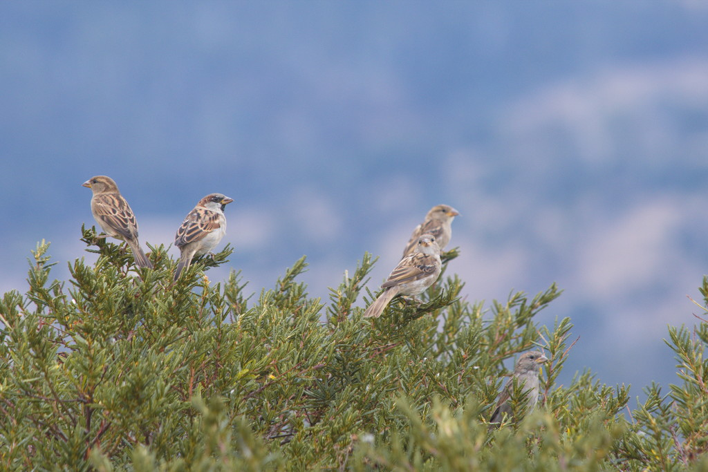 House Sparrows by kgolab