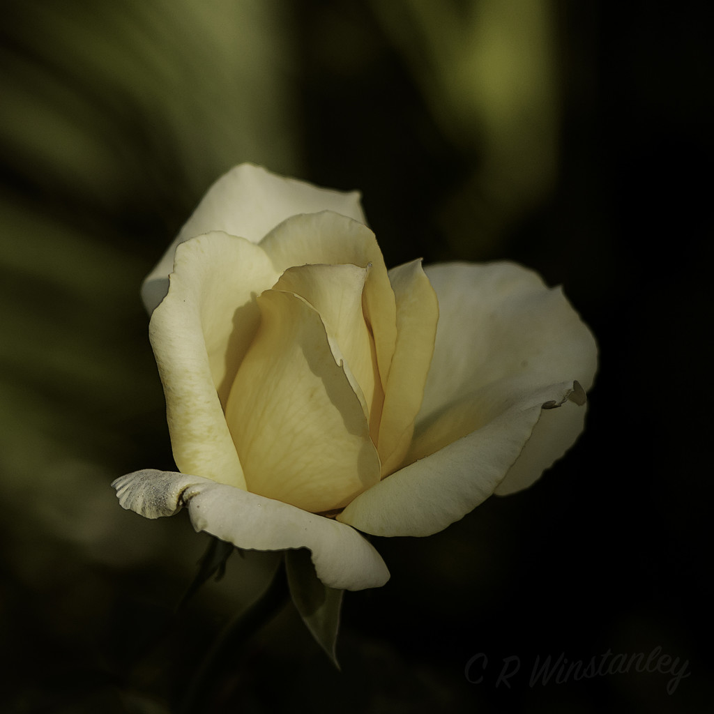 Autumn Rose by kipper1951