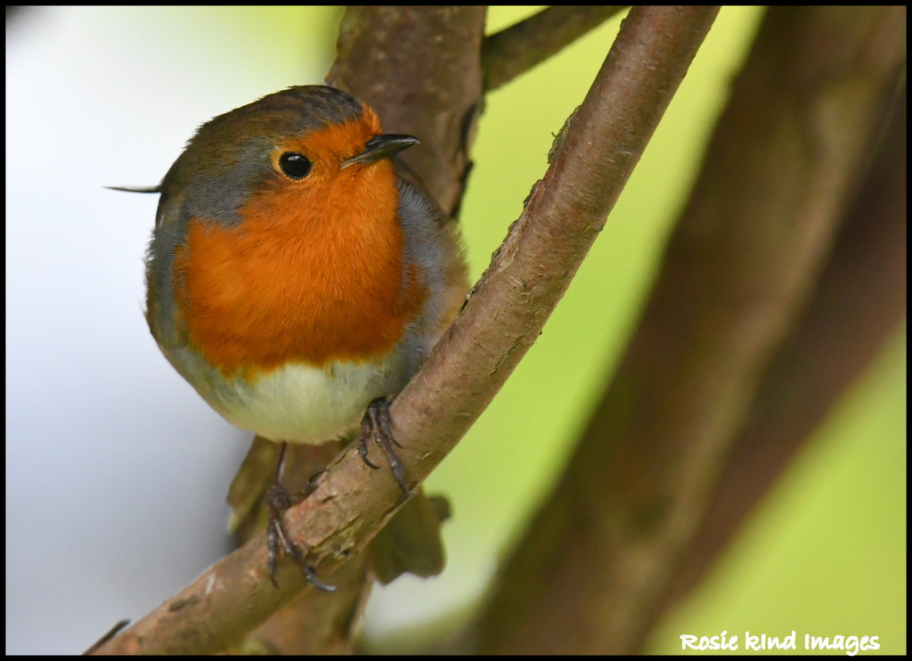 This is my front garden robin by rosiekind