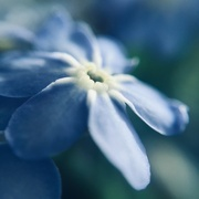 23rd Mar 2019 - Forget-Me-Not