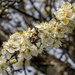 Plum Blossom by pcoulson