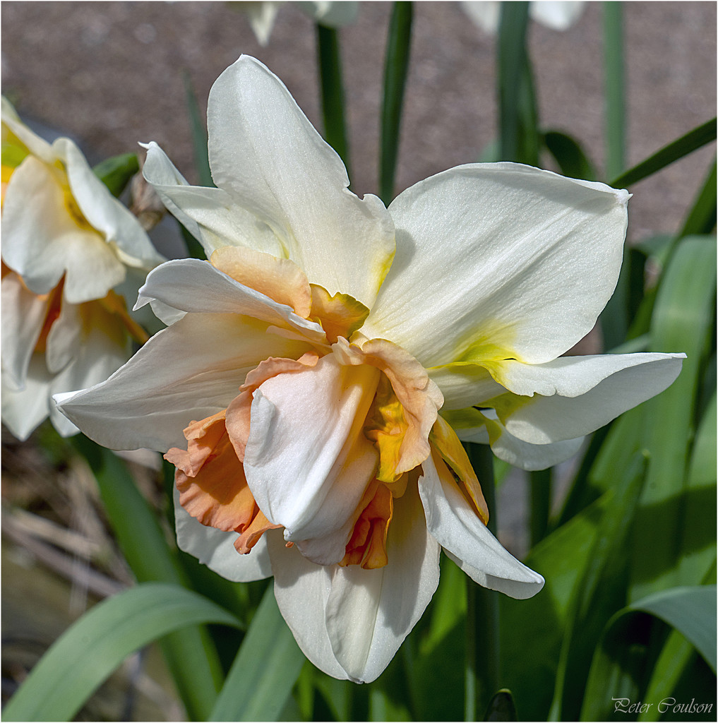 Double Daffodil by pcoulson