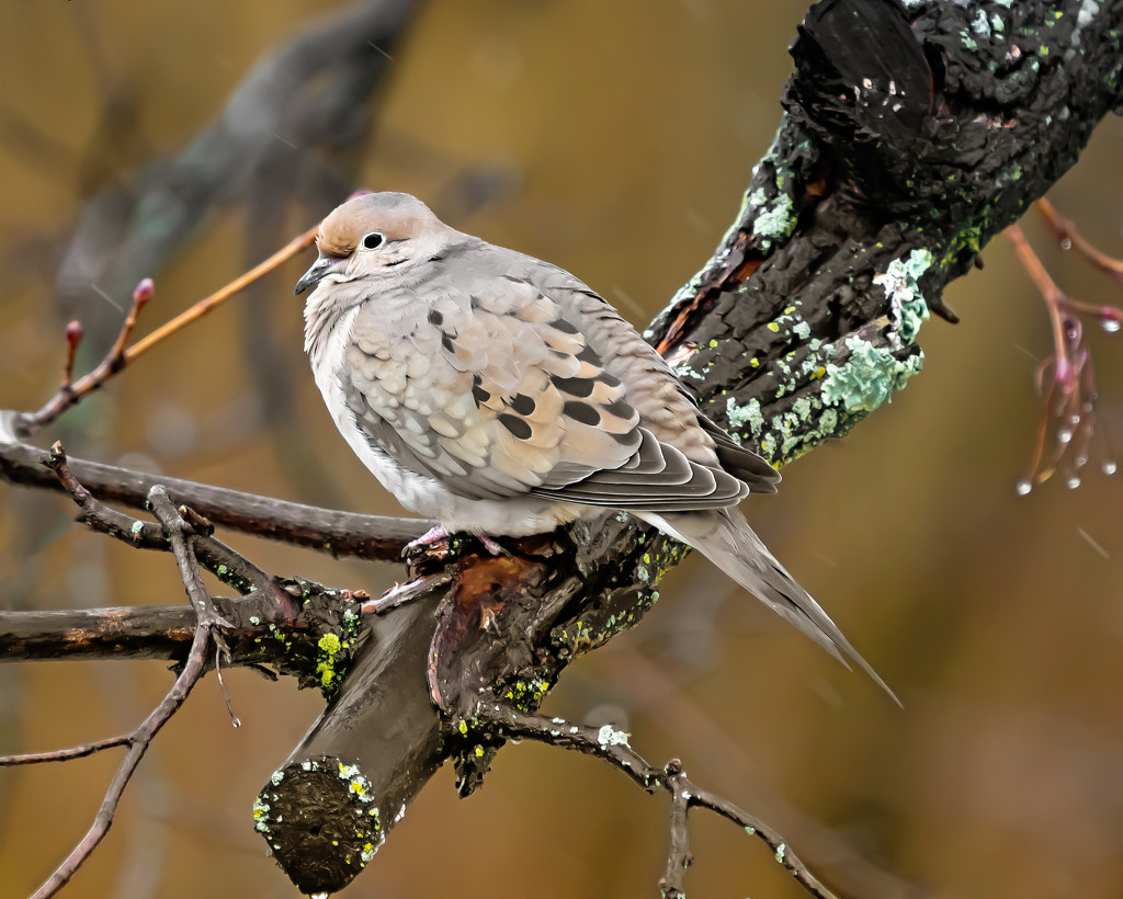 mourning dove just after the rain by jernst1779