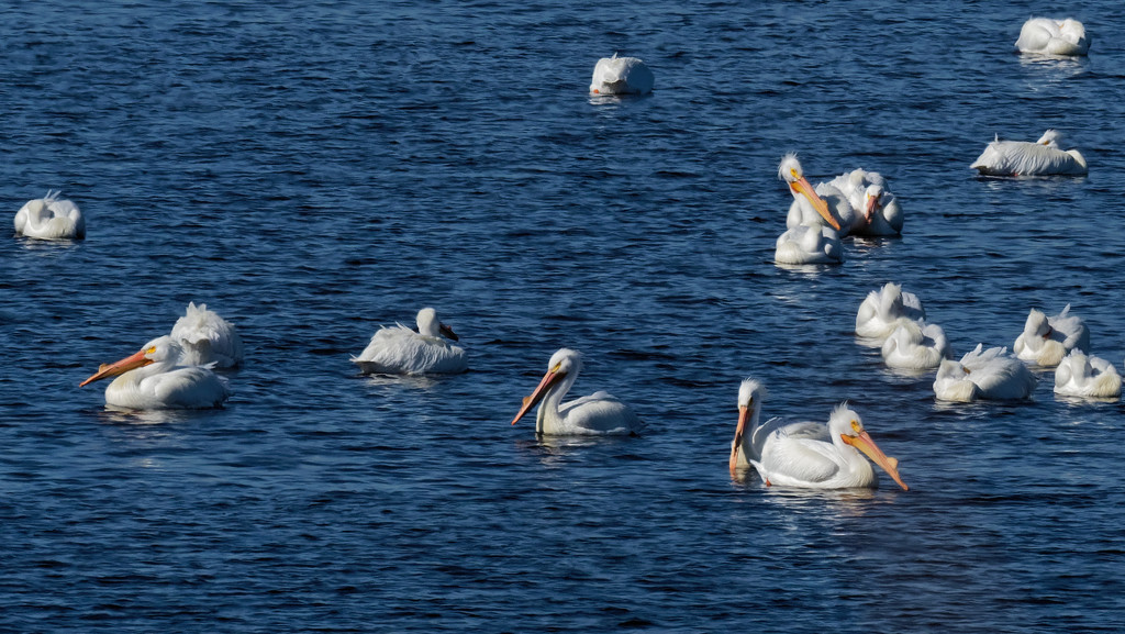 pelicans swimming by rminer