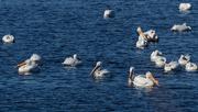 23rd Mar 2019 - pelicans swimming