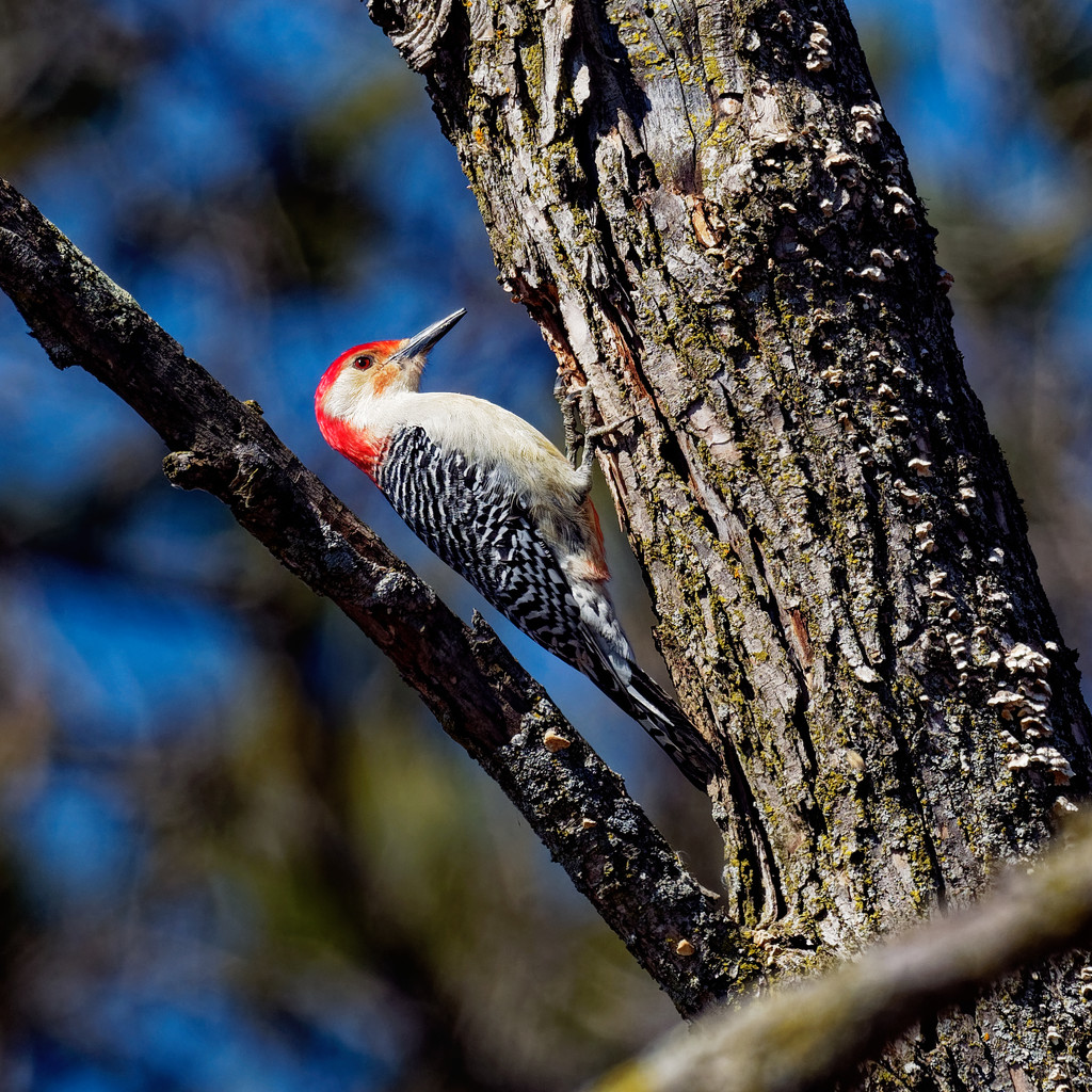 red-bellied woodpecker  by rminer