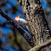 23rd Mar 2019 - red-bellied woodpecker