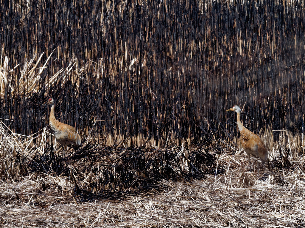 Sandhill cranes by burnt grass by rminer