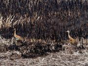 23rd Mar 2019 - Sandhill cranes by burnt grass