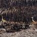 Sandhill cranes by burnt grass