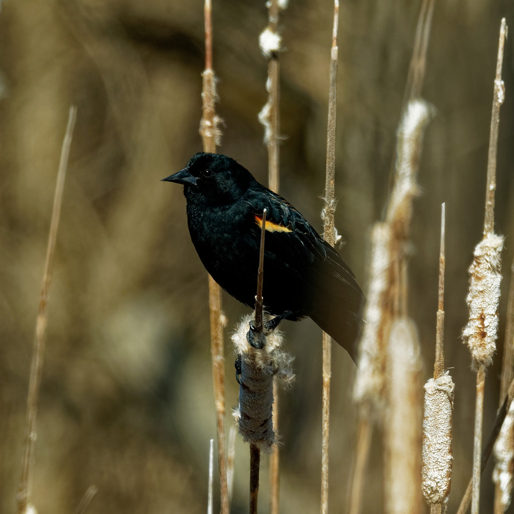 red-winged blackbird on cattails by rminer