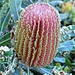 Rainbow Month Day 24 - Menzies Banksia