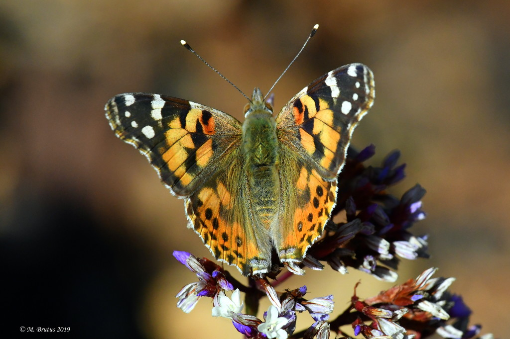Painted Lady by mbrutus