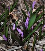 23rd Mar 2019 - Purple Spring Bloom