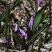 Purple Spring Bloom