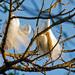 Egrets Getting Pretty!