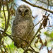 Baby Barred Owl, Out of the Nest!