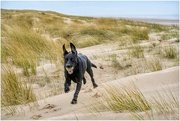 24th Mar 2019 - Sadie having fun on the dunes!