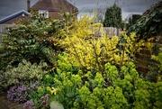 13th Mar 2019 - Forsythia and Euphorbia