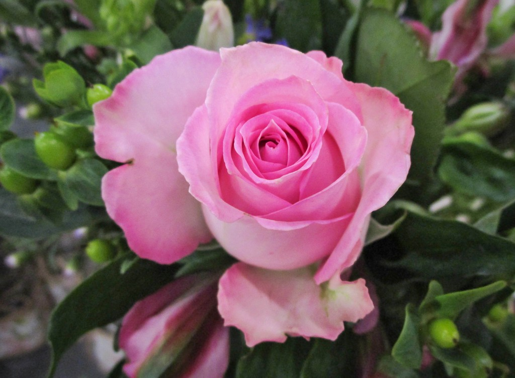 Pink rose by mittens