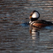 Hooded Merganser by joansmor