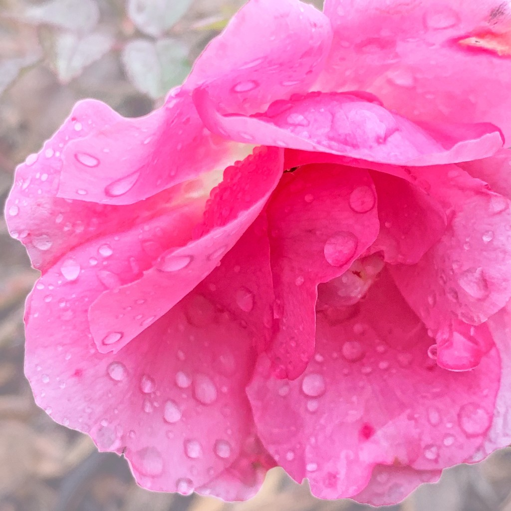 Raindrops on rose by shutterbug49
