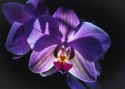21st Mar 2019 - night orchid