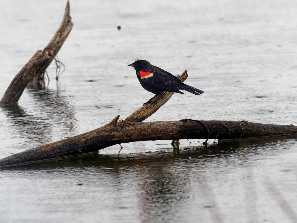 red-winged blackbird branch in water by rminer