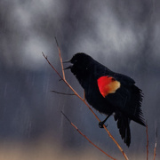 24th Mar 2019 - red-winged blackbird in the rain