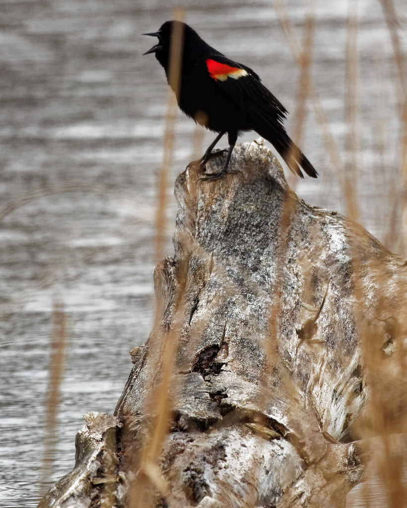 red-winged blackbird out on a log by rminer