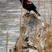 red-winged blackbird out on a log