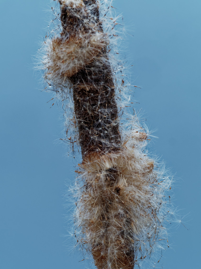 cattail  by rminer