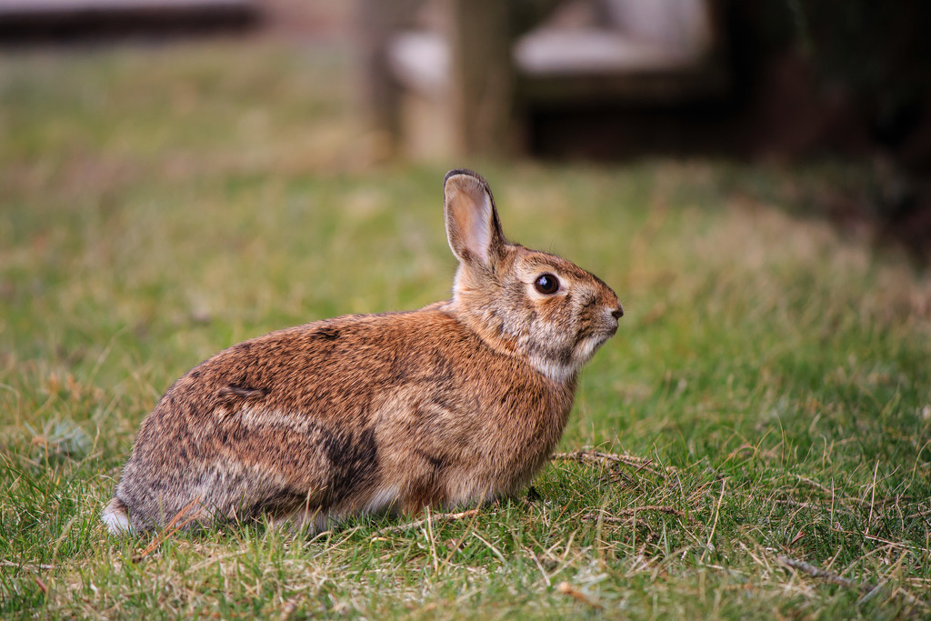 Spring is here, and the bunnies are out and about. by batfish