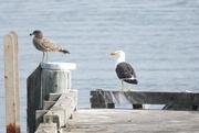 22nd Mar 2019 - Pacific Gulls