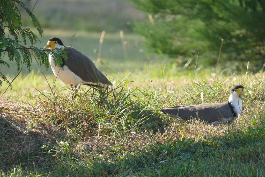 Spur-winged Plovers by hrs