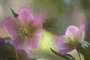 22nd Mar 2019 - Lenten Roses