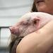 Comfy Piggie