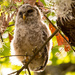 Baby Owl, Way up in the Tree! by rickster549