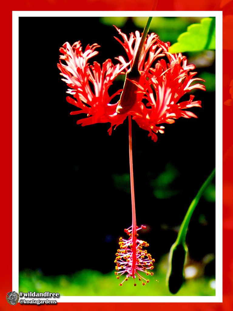 Hibiscus by koalagardens