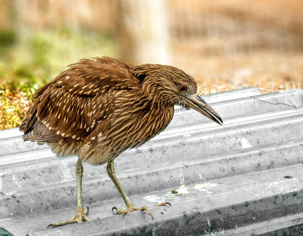 A Heron chick by ludwigsdiana