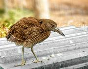 25th Mar 2019 - A Heron chick