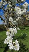 26th Mar 2019 - Pershore plum blossom