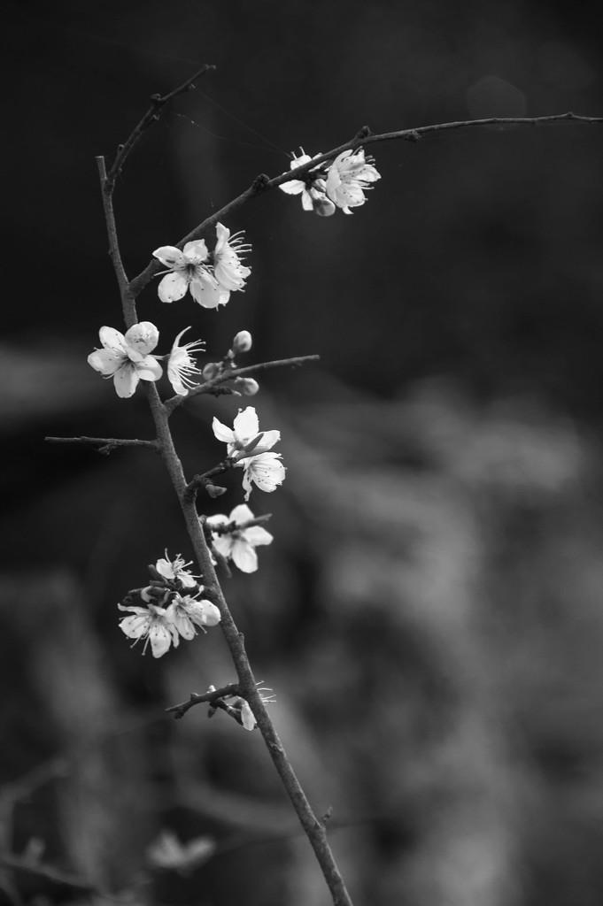 Blackthorn by overalvandaan