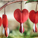 Bleeding Heart Blooms