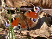 24th Mar 2019 - An Early Peacock Butterfly