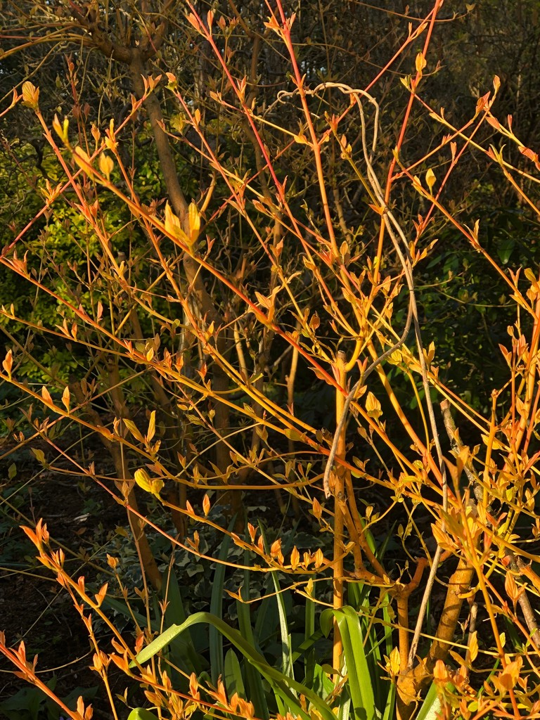 Dog wood in the late sun by nicolaeastwood