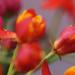 Milkweed - red